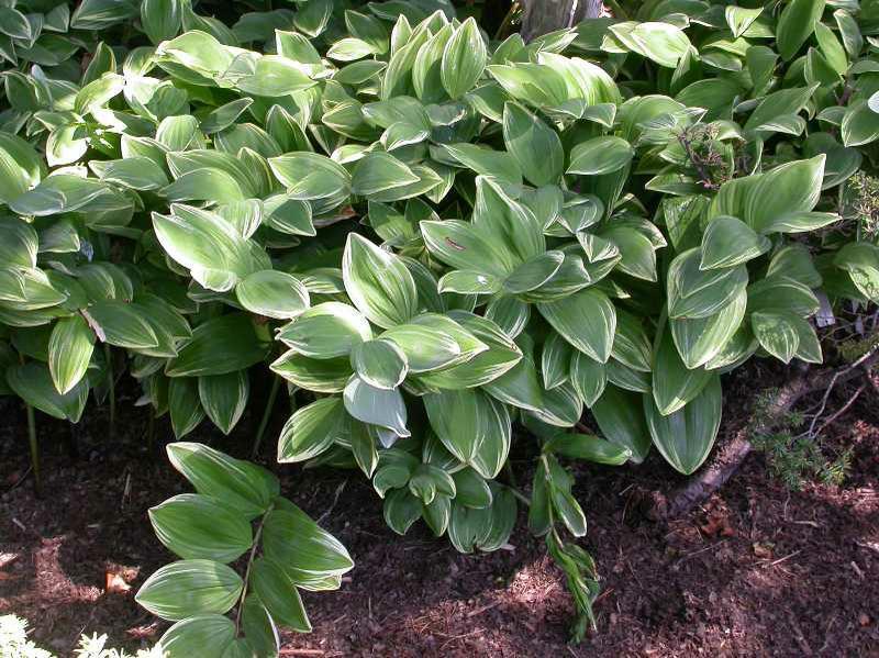 Polygonatum Odoratum Variegatum