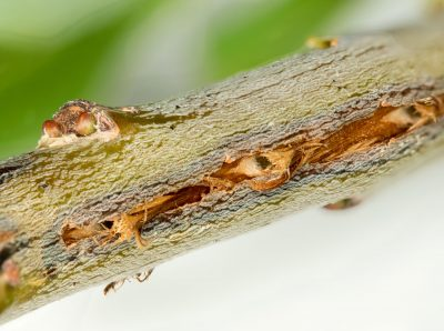 Cicada Damage