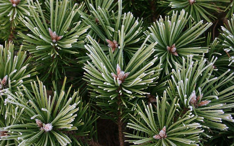 Closeup Spruce