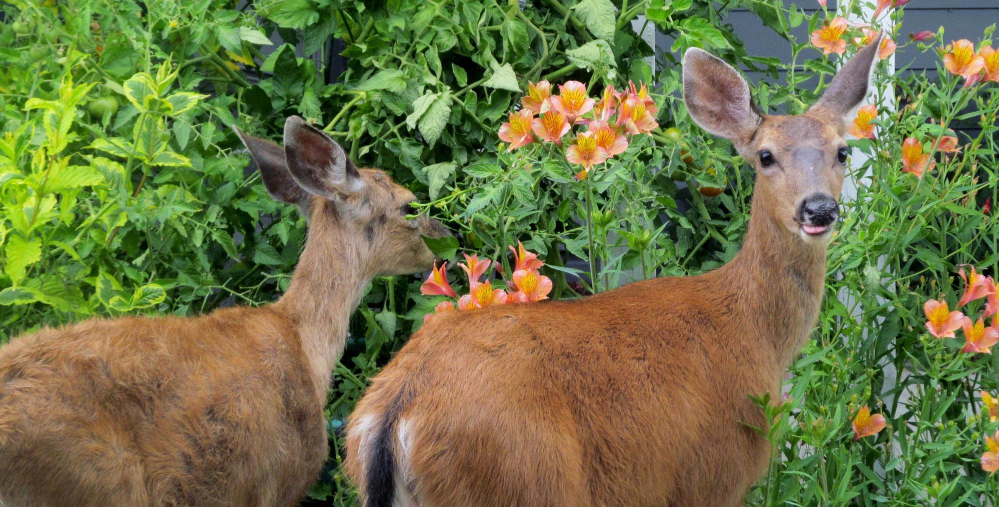 Deer Resistance