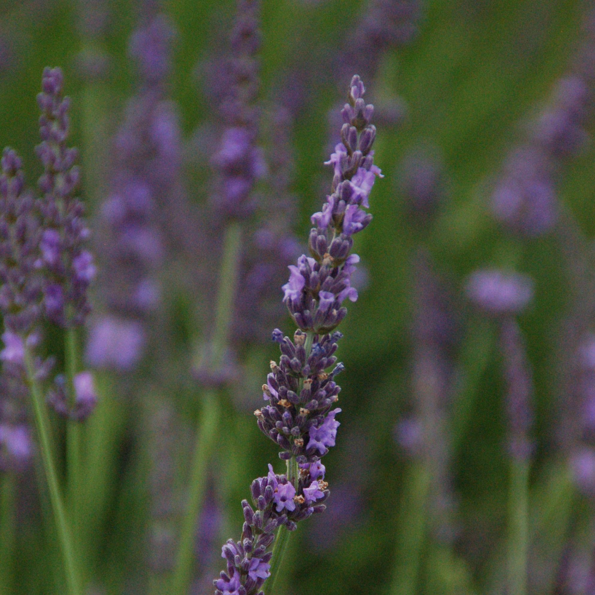 Phenominal Lavender